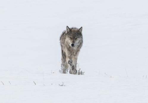 Wolf listening