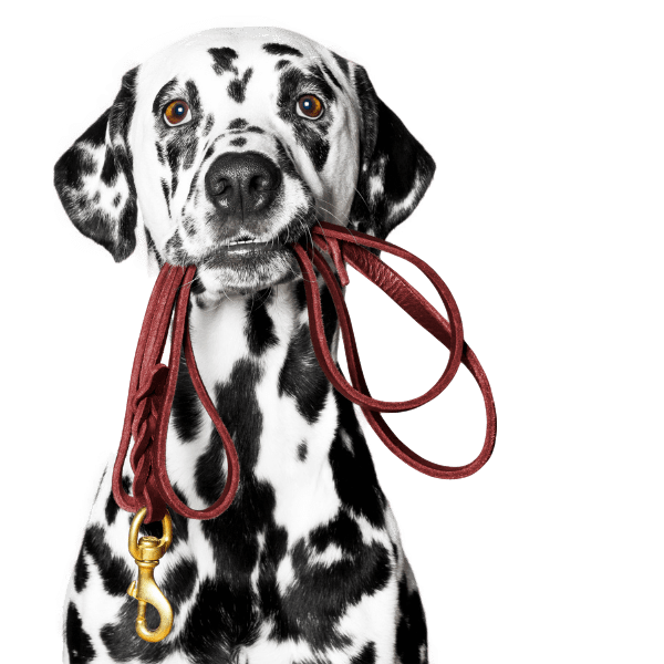 Picture of a dalmatian holding a red lead in its mouth