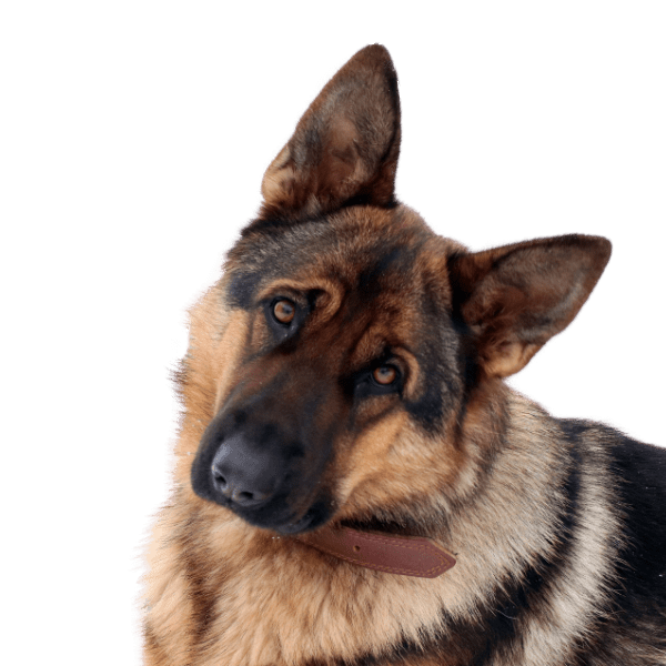 Picture of a german shepherd with its head to one side