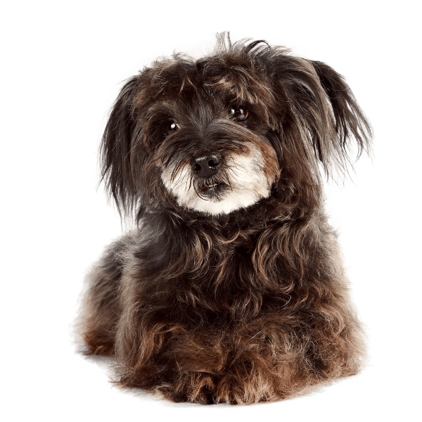 Picture of a cute small black fluffy dog