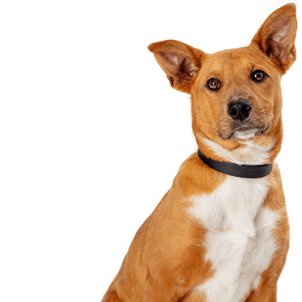 Picture of a brown and white dog with its ears up