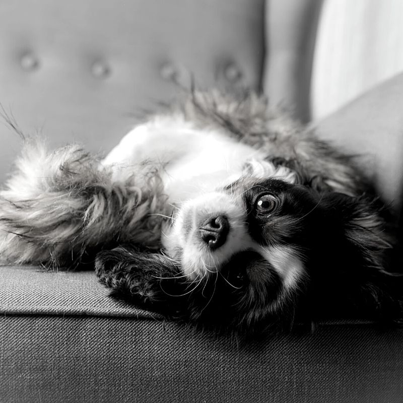 Black and white picture of a dog led on a chair