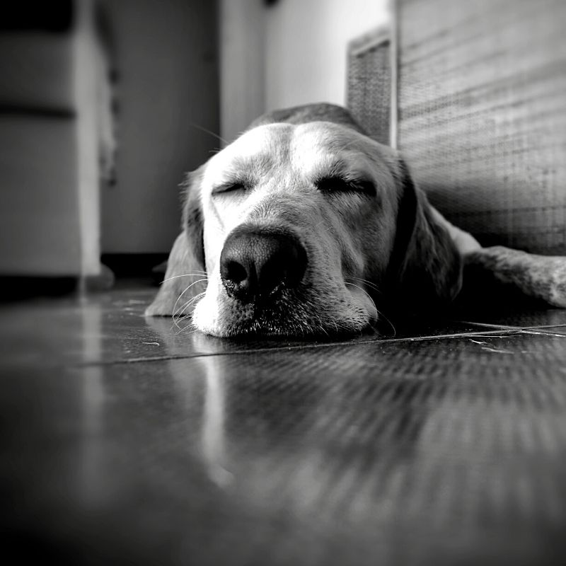 Black and white close up of a dog sleeping