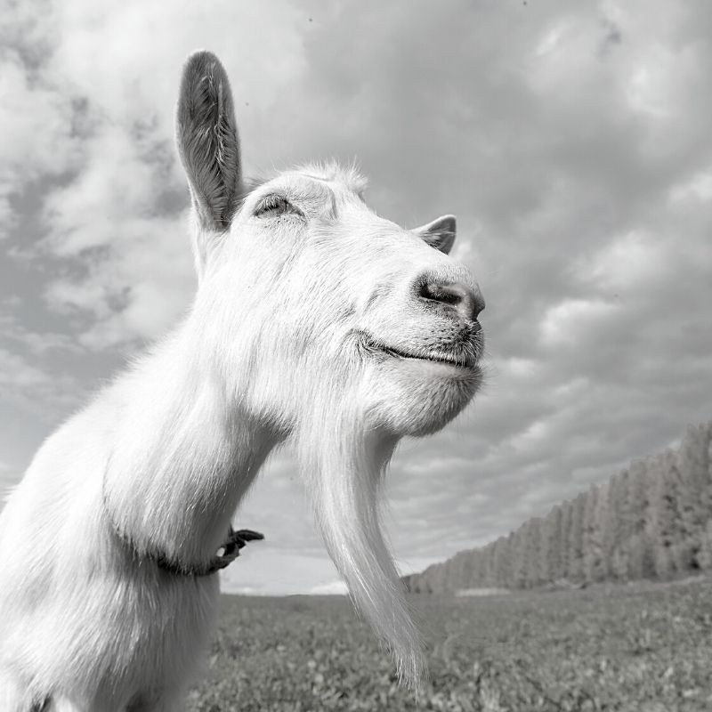 Blck and white picture of a white billy goat