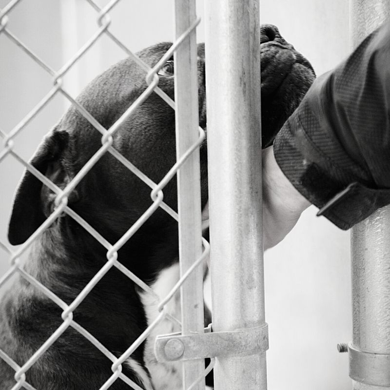 Black and white picture of a dog being stroked through a gate