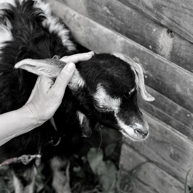 Black and white picture of a goat being stroked by its ear
