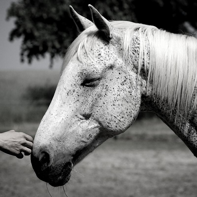 Black and white picture of a white horse